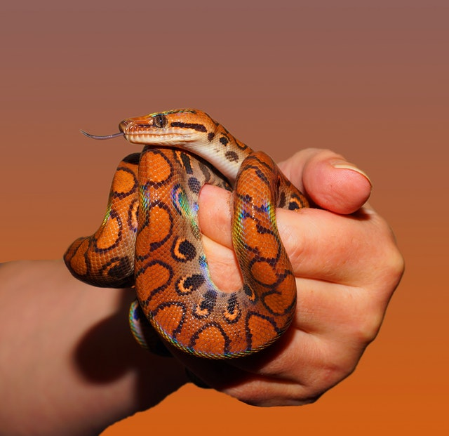 Finding the Best Pet Snake